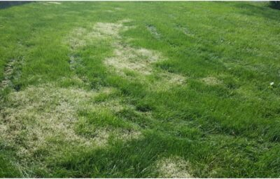 Why does your lawn turn white